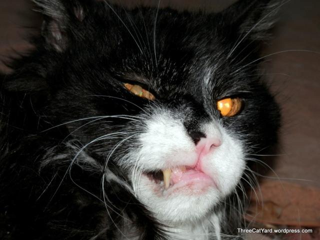 Mean Kitties   ThreeCatYard