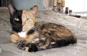 Venus cat