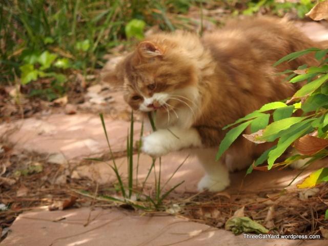 Grass Eater Sherman