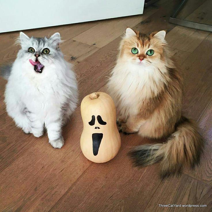 Smoothie And Milkshake Cat Breed